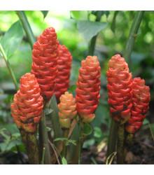 Zázvor bengálský - Zingiber rubens - semena zázvoru - 4 ks