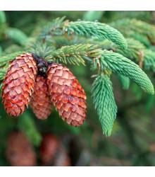 Smrk štětinatý - Picea asperata - semena smrku - 8 ks