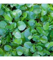 Řeřicha vodní potoční- Nasturtium officinale - semena - 0,5 g