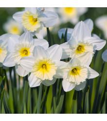 Narcis Mount hood - Narcissus Trumpet