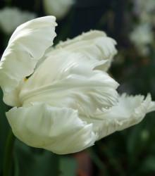 Tulipán White Parrot - Tulipa parrot - cibule tulipánů - 3 ks