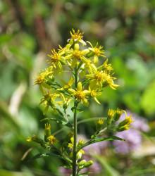 Zlatobýl obecný - Solidago virgaurea - semena - 10 ks