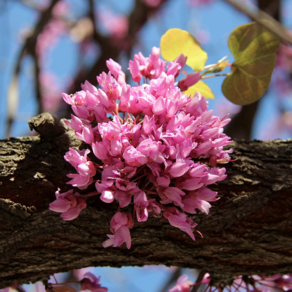 Zmarlika Jidášova - Cercis siliquastrum - semena zmarliky - 6ks