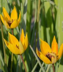 Tulipán lesní - Tulipa sylvestris - cibule tulipánů - 3 ks