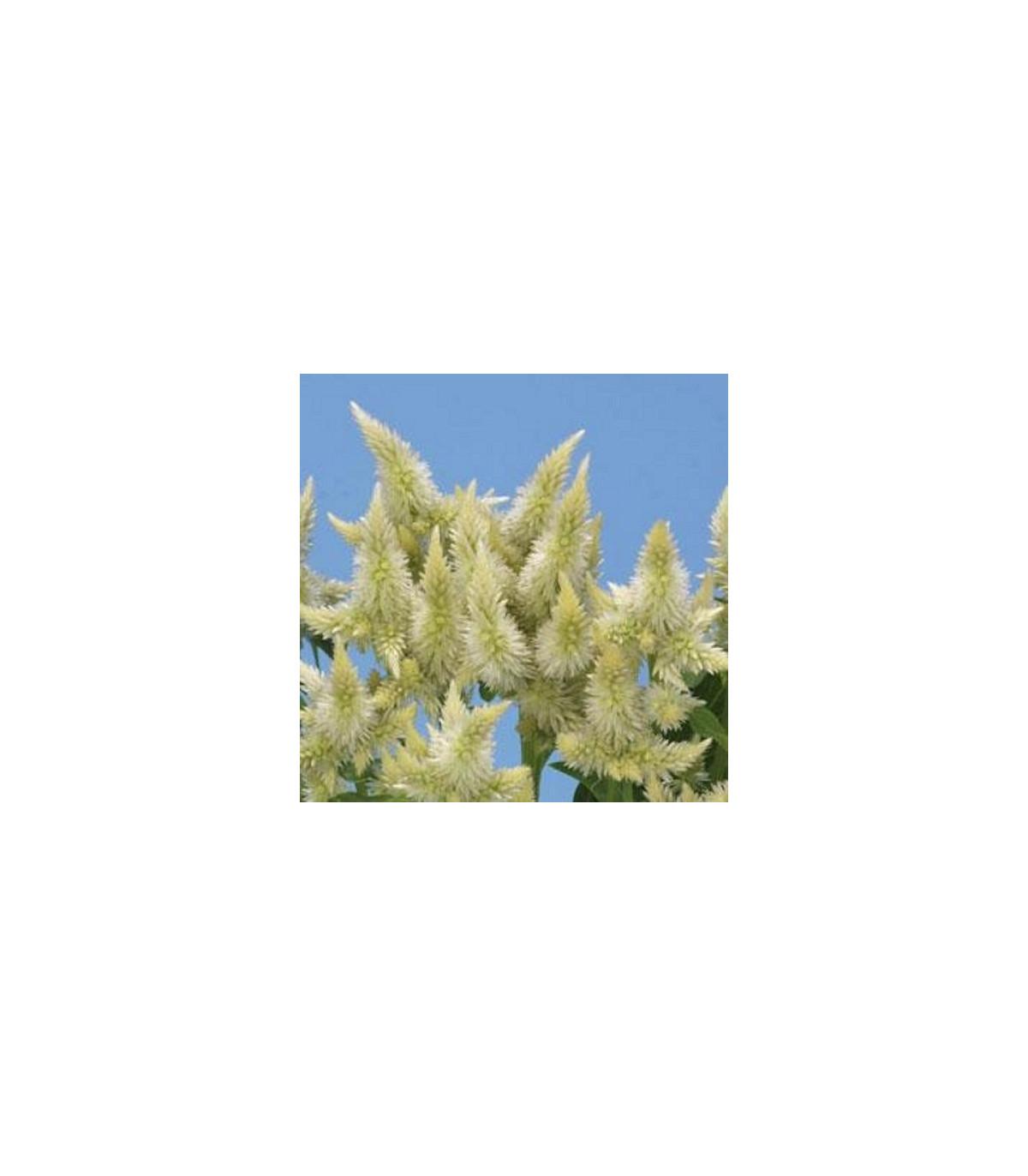 Nevadlec klasnatý bílý - Celosia spicata - semena celosie - 10ks