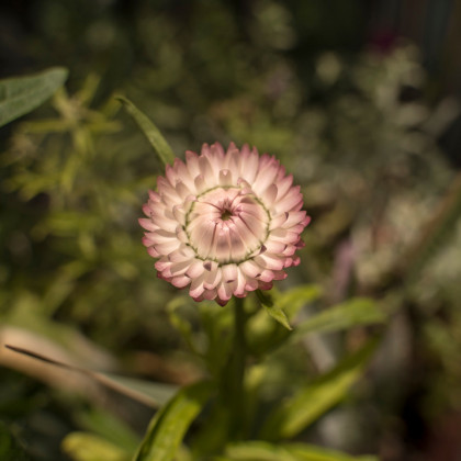 Smil listenatý Silvery Rose - Helichrysum bracteatum - semena smilu - 500ks