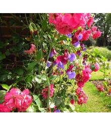 Hrachor vonný růžový - Lathyrus odoratus - semena - 20 ks