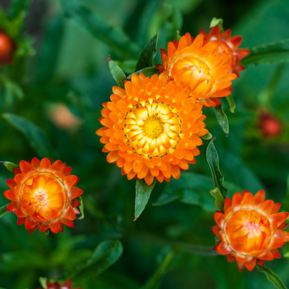 Smil listenatý oranžový- Helichrysum bracteatum - semena smilu - 500ks
