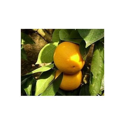 Pomerančovník