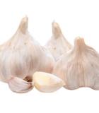 Sadbový česnek