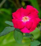 Růže půdokryvné