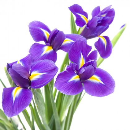 Jarní a podzimní cibuloviny